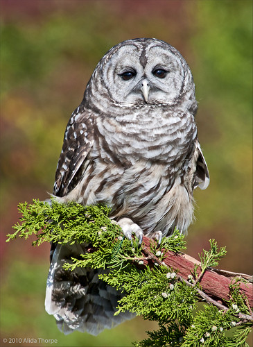 Barred Owl, captured by Alida's Photos
