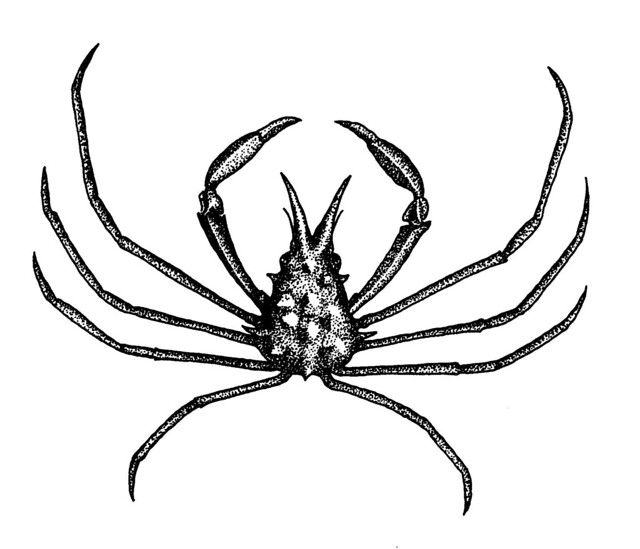 spider crab definition  meaning
