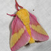 Rosy Maple Moth - Photo (c) Patrick Coin, some rights reserved (CC BY-NC-SA)