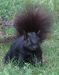 BlackSquirrel