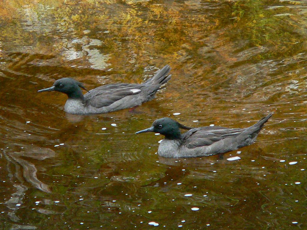 Με εξαφάνιση υδρόβια πτηνά στην
