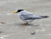 Least Tern (Sterna antillarum) by Ardeola