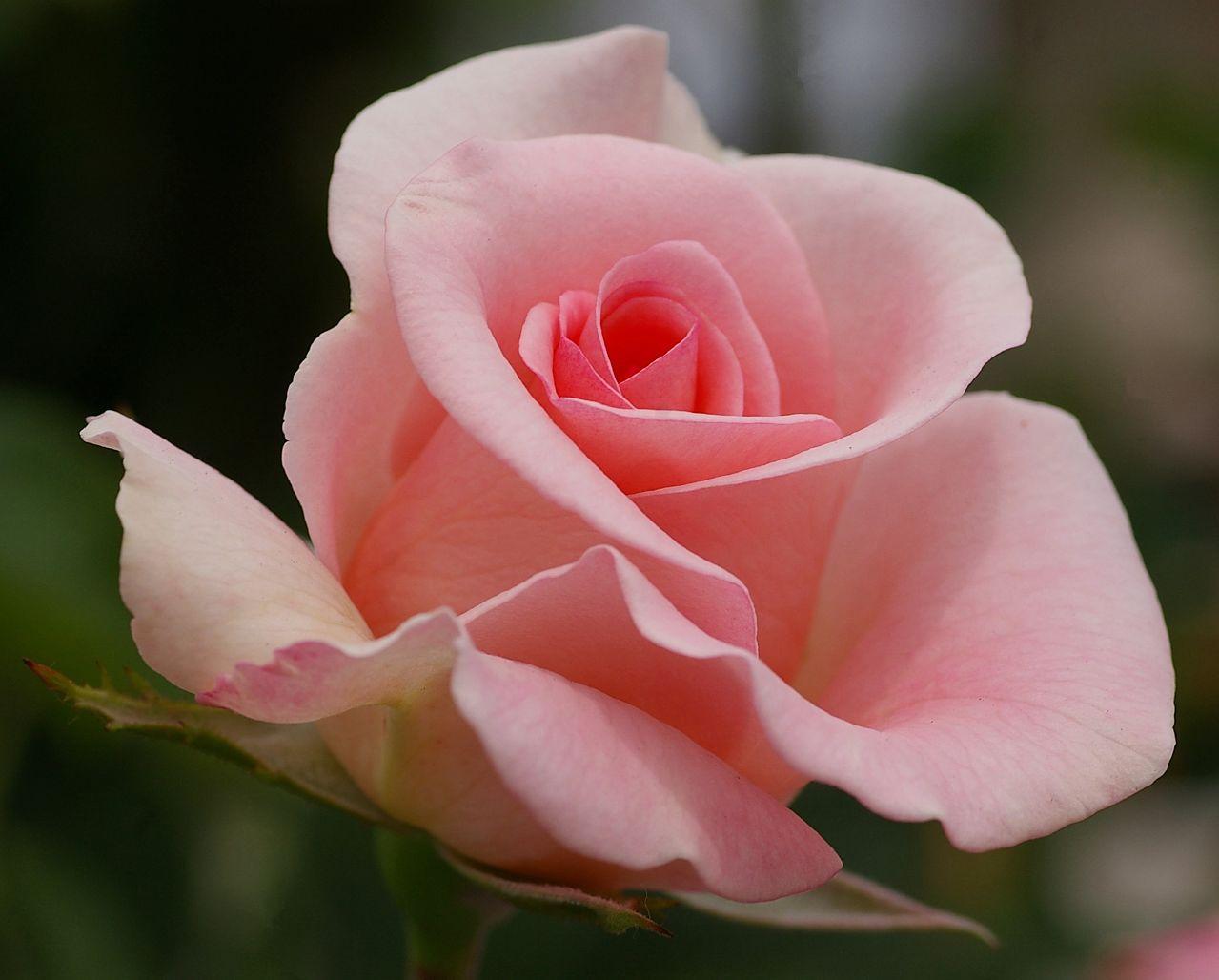 Summer Rose #3