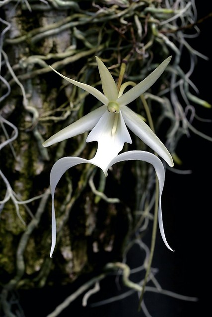 Ghost Orchid closeup