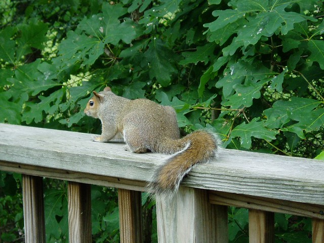 buff squirrel by casey flickr photo sharing