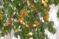 citrus(0.0), flower(0.0), plant(0.0), produce(0.0), food(0.0), bitter orange(0.0), apricot(1.0), branch(1.0), fruit(1.0),