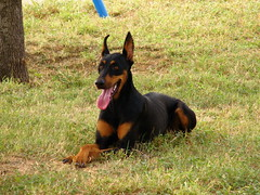dog breed, animal, dog, german pinscher, manchester terrier, dobermann, pet, guard dog, miniature pinscher, pinscher, toy manchester terrier, english toy terrier, carnivoran,