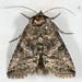 Noctuidae III - 8880 - 9176