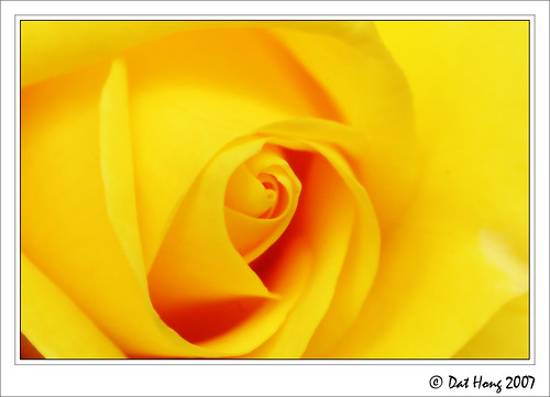 flowers flower macro rose yellow closeup canon 350d rosa rebalxt naturesfinest flowerotica ultimateshot thatsclassy