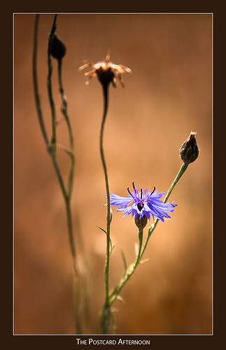 blur flower dof wheat cornflower