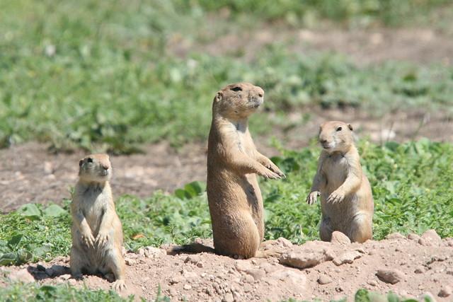 IMG_5272  Prairie Dogs 062307