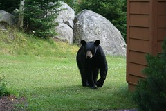 animal, american black bear, zoo, mammal, fauna, bear,