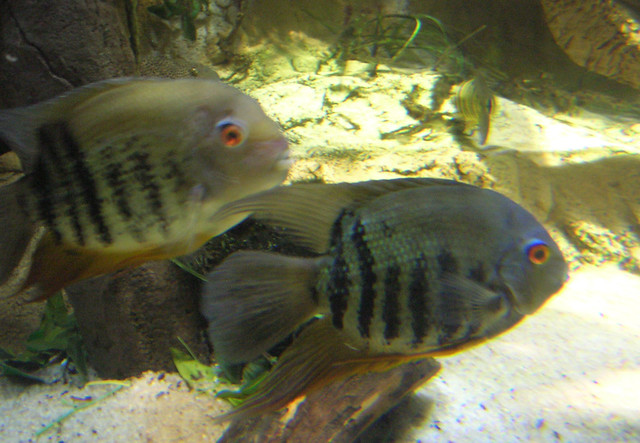 South american cichlids list - photo#25