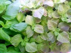 annual plant, leaf, herb, perilla frutescens, perilla,