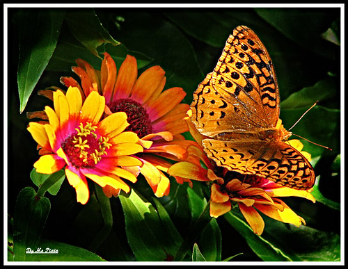 Great Spotted Fritillary?