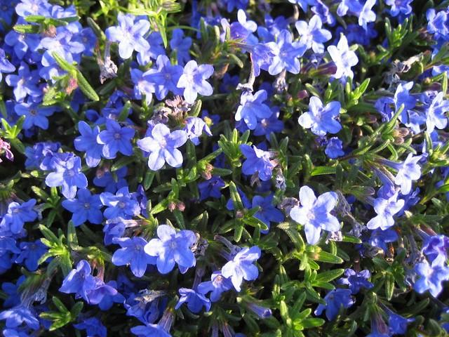 lithodora diffusa 39 heavenly blue flickr photo sharing. Black Bedroom Furniture Sets. Home Design Ideas