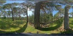 Aviemore: Scots Pines Kincraig Scotland