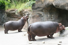 The Most Awesome Hippo Ever (1)
