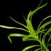 Eriocaulaceae sp. 'Type 2'