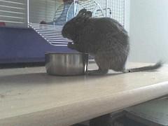 animal, rodent, pet, muridae,