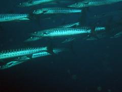 School of Chevron Barracudas (1-1.5 m)