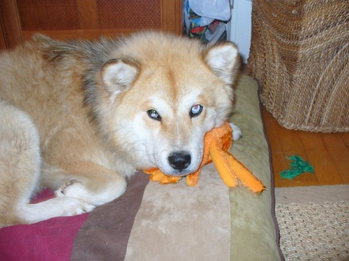 new adoption day octopus (husky chow mix) | Flickr - Photo Sharing
