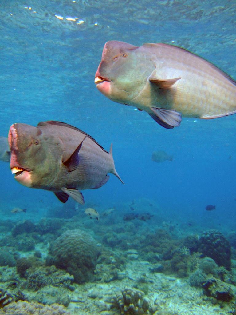 Bumphead parrotfish, Sipadan Island