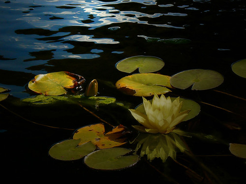 Evening Water Lilly