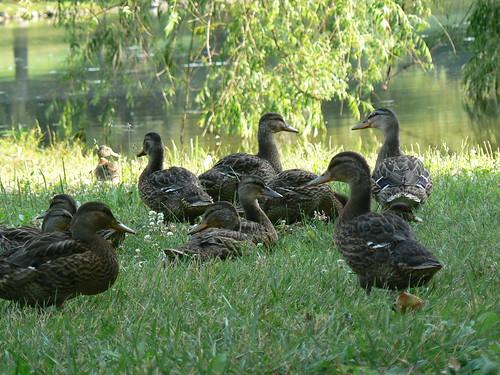 Duck Pond: Female Mallards
