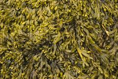 algae, leaf, herb, flora,