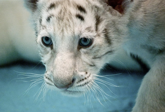 5129985180 33a963905f z jpgWhite Siberian Tiger Eyes