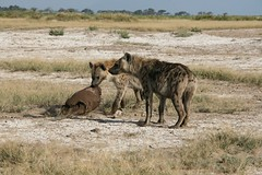 jackal(0.0), animal(1.0), prairie(1.0), plain(1.0), mammal(1.0), hyena(1.0), fauna(1.0), savanna(1.0), grassland(1.0), safari(1.0), wildlife(1.0),