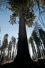 Giant between big trees