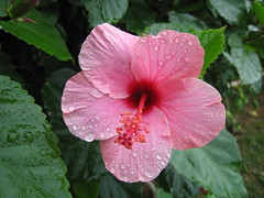 annual plant, shrub, flower, leaf, plant, malvales, flora, chinese hibiscus, pink, petal,