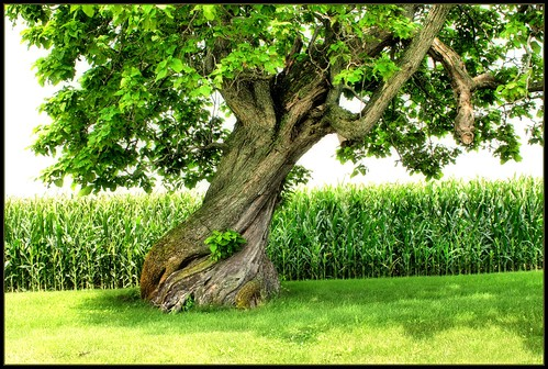 Old Catalpa Tree