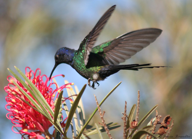 Beija-flor Tesoura (Eupetomena macroura) - Swallow-tailed Hummingbird 37 02-07-07 080