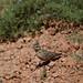 Small photo of Crested Lark, Galerida cristata