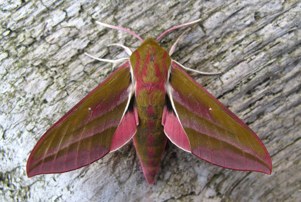 Elephant Hawk-moth - Photo (c) Andy Phillips, some rights reserved (CC BY-ND)