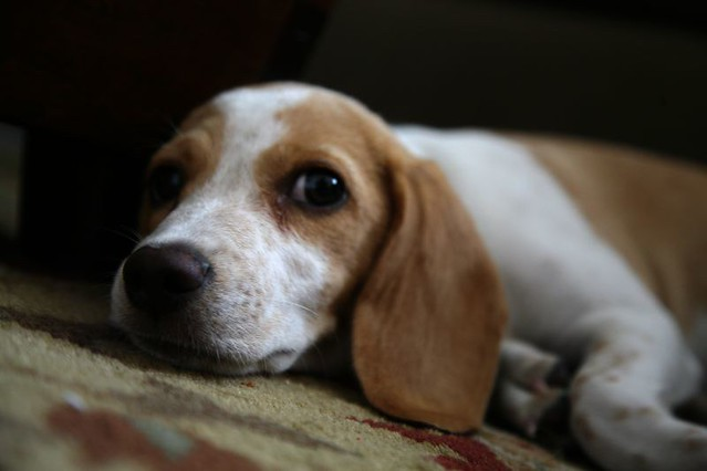 lemon pocket beagle - photo #25