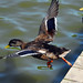 Three Ways A Duck Can Leave A Dock...Part Two...Glide Off