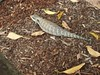 Blue Tongue Lizard in the Garden