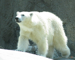 Polar bear in California