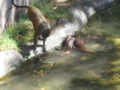 Monkey trying to pet the otters