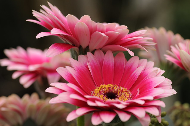 Pink Gerberas - perfect for fixing the winter doldrums