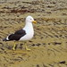Small photo of Black-Backed Gull