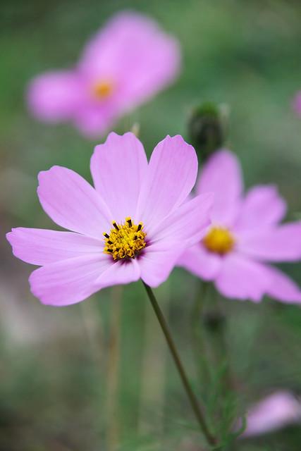 Cosmos flowers in Tashkurgan