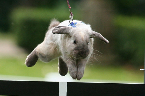 Show Jumping Bunnies Bunny Show Jumping Flickr