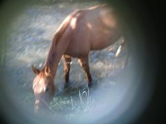Equus caballus n°3