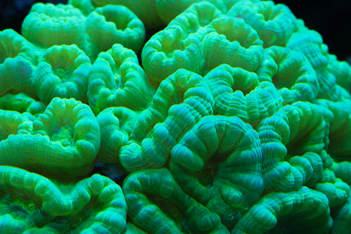 20d canon fishtank corals saltwater caulastreafurcata atlantisaquariums