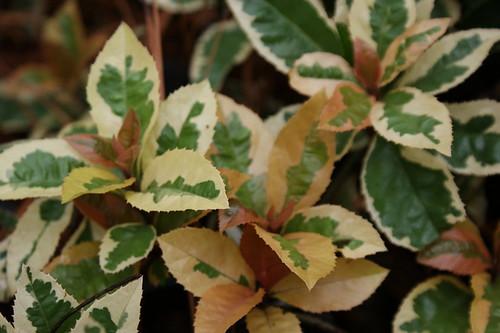 Ardisia japonica 'Hakuoukan' (White King variegated ardisia)